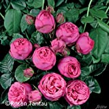 Nostalgische Edelrose 'Pink Piano®'