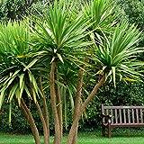Cordyline australis . . . CABBAGE PALM TREE . . . Torbay . . . 20 Seeds . . . EZ