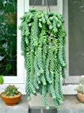 M.D Farm and Nursery  Succulent Hanging Plants Sedum Morganianum (Donkey's Tail,Burro's Tail) Live Plant-m.d-111