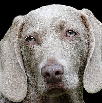 Weimaraner Dog Greeting Card - Square 6x6