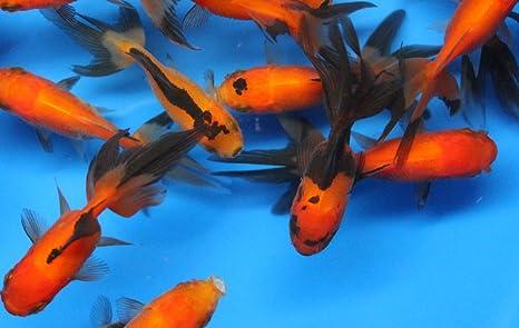 Amazon Com 5 Pack Live Sm Red Black Oranda Goldfish For Aquarium