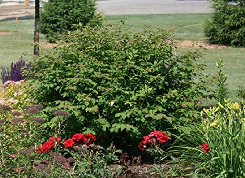 Dwarf Burning Bush ( Euonymus Alatus ) - Quart Pot by Amazing Plants (Image #2)