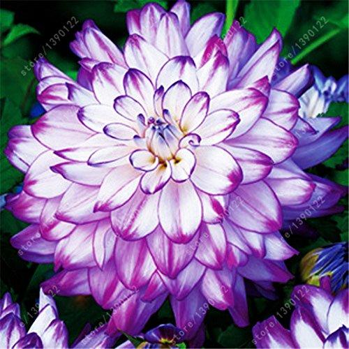(2bulbs true dahlia bulbs,flowers dahlia,(not dahlia seeds),National flower of Mexico,Flower symbolizes good luck for home)