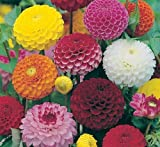 30 Seeds, Fragrant, Dahlia Mix, Pom Pone