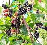 EarthcareSeeds Black Mulberry 50 Seeds (Morus nigra) Non GMO - Open Pollinated - Heirloom