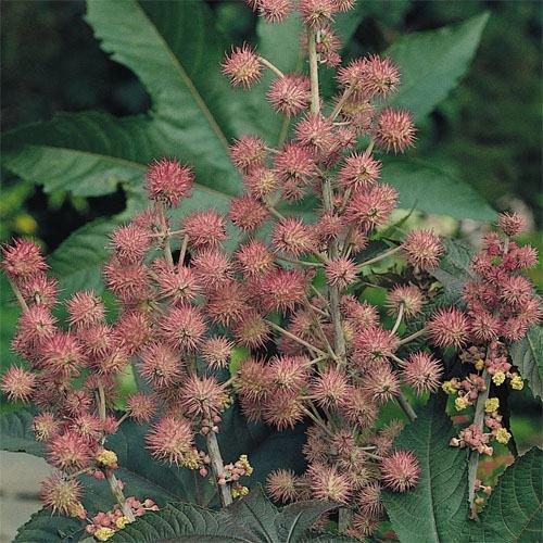 Outsidepride Bright Pink Ricinus Communis Castor Bean Seeds - 15 Seeds