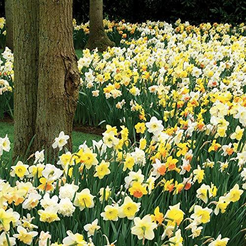 1 kg Daffodil bulbs (mixed) Cambridge Farmers Outlet