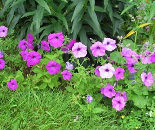 Amazon Com 200 Mixed Laura Bush Petunia Violacea Pink Purple
