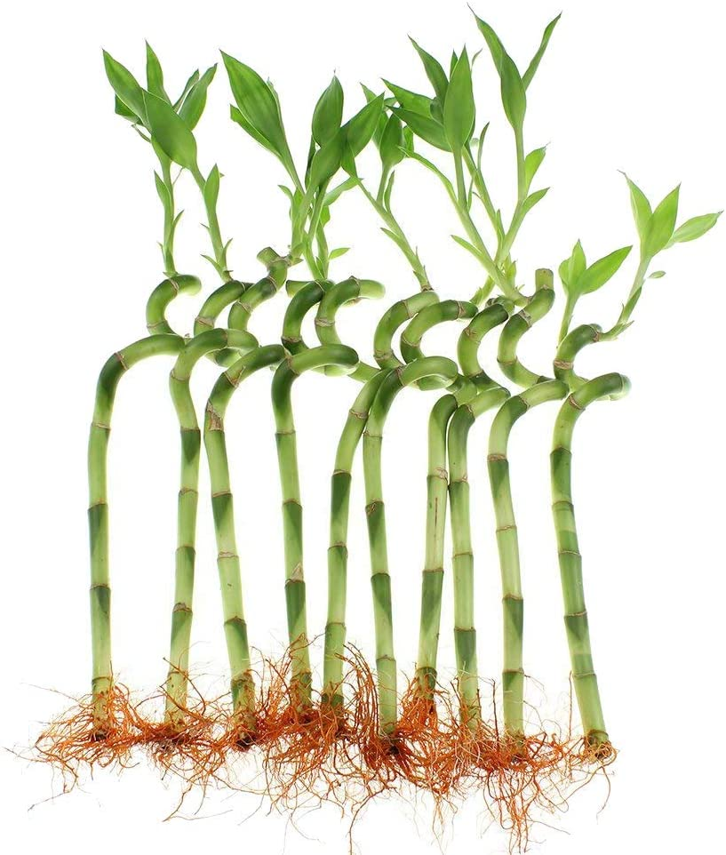 10 Stalks 8 Inches Spiral Lucky Bamboo Top Quality Live Plant Indoor Houseplant