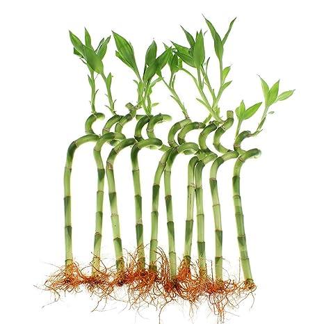 Amazon com : Lucky Bamboo 10 Stalks 8