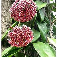 TENGGO Egrow 20Pcs/Pack Hoya Semillas Semillas en Maceta Hoya Carnosa Semillas de Flores Plantas de jardín - 04