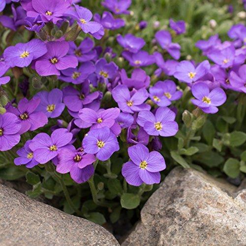 Plant Creeping Phlox - Outsidepride Blue Phlox Ground Cover Plant Flower Seeds - 1000 Seeds