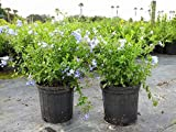 Plumbago Auriculata 'Imperial Blue', Cape Leadwort - 3 Gallon Live Plant - 4 pack