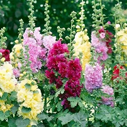 Image result for Alcea rosea mix