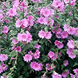 Non GMO Bulk Tree Mallow Seeds Lavatera trimestris (1/4 Lb)