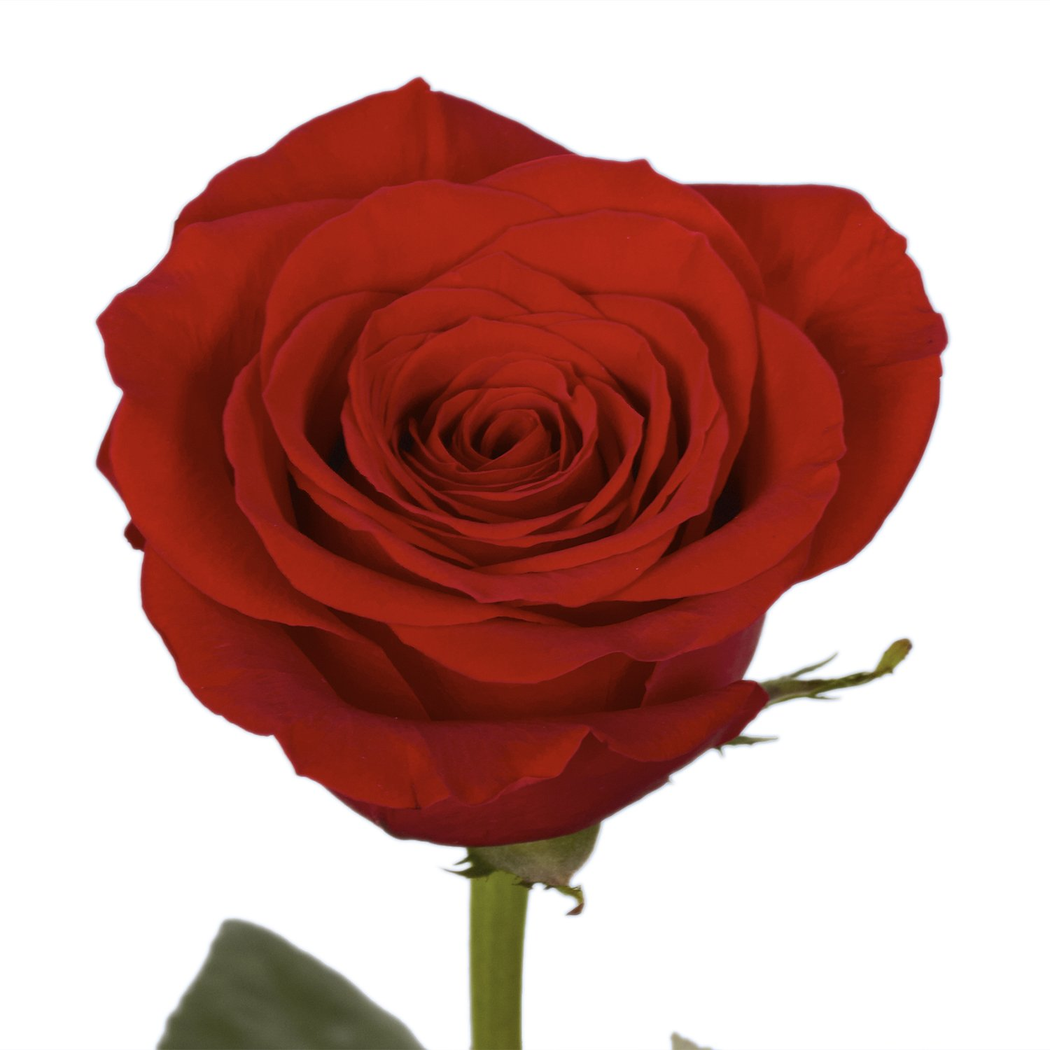 GlobalRose 100 Red Roses- Vibrant and Bright Red Blooms- Fresh Flowers Express Delivery) by GlobalRose (Image #4)