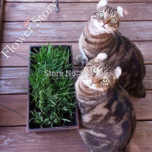 promoción grande, 1000 dulce avena para gatos, gato Semillas de hierba, rápido y fácil cultivo, gatos DIY Alimentos Naturales: Amazon.es: Jardín