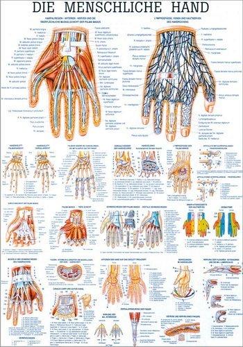 Ruediger Anatomie TA29 Die menschliche Hand Tafel, 70 cm x 100 cm, Papier