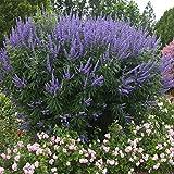 Mönchspfeffer 5 Samen, Vitex Agnus (Chester lilac)