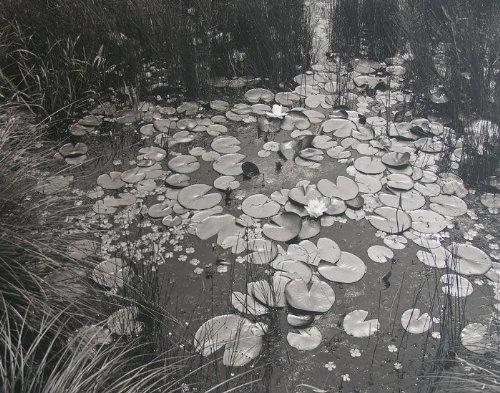 Aquatic Plants #1, Saddle River, New Jersey (Platinum/palladium Print, Edition of 30)