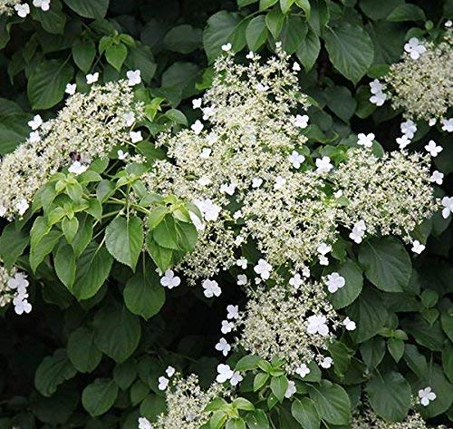 Climbing Hydrangea Vine - Live Plant - Trade Gallon Pot by New Life Nursery & Garden (Image #2)