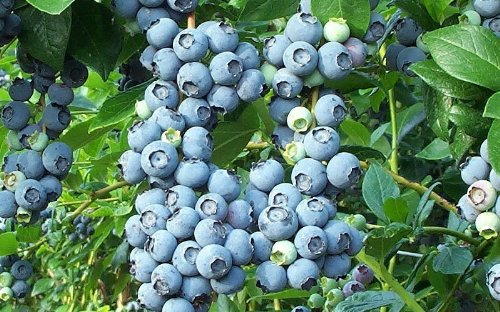 2 Bluecrop Blueberry Plants in Quarts, Nice Starter Size Plants
