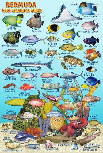 Bermuda Reef Creatures Guide Franko Maps Laminated Fish Card 4