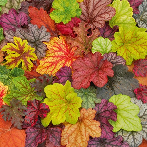 Heuchera Hybrid (Supreme Heuchera Color Hybrids Heuchera Mix Seeds 25+)