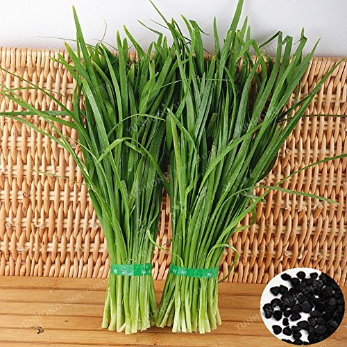 Chinese Chive Seeds Nutritious Organic Healthy Green Food Vegetable Allium Tuberosum Garlic Chive Seeds Heirloom 100 PCS (Chives 100 Seeds)