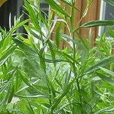 Everwilde Farms - 2000 Tarragon Herb Seeds - Gold Vault Jumbo Seed Packet