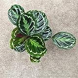 American Plant Exchange Calathea Medallion Peacock