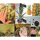 10pc gem se und fruchtsamen melonensamen vietnam milch melonenkerne als eine brust bonsai frau - Hanf zimmerpflanze ...