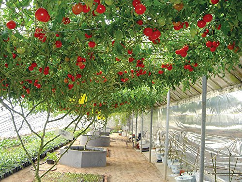 potted tomato seeds - 6