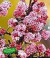 """BALDUR-Garten Duft-Schneeball """"Dawn"""" Viburnum bodnantense Winterschneeball 1 Pflanze"""