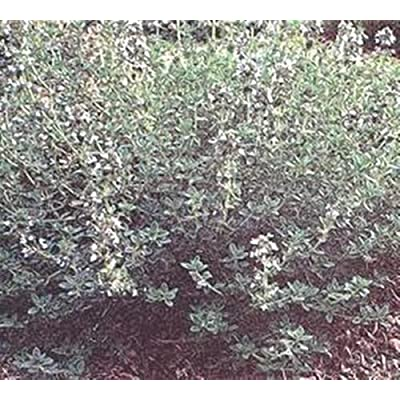 Herb Seeds - Thyme Summer Seeds : Garden & Outdoor