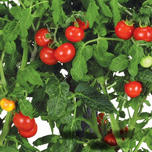 - AeroGarden 800411-0208 Miracle-GRO Mighty Mini Tomato 3 Seed Pod Kit