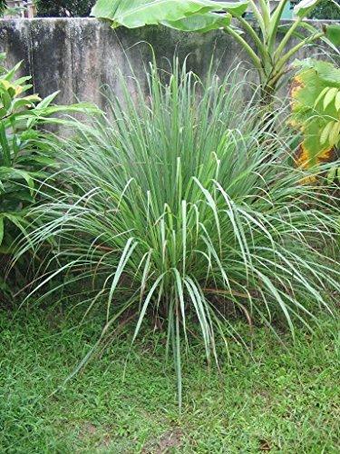 (200 Lemon Grass Seeds - Cymbopogon Flexuosus ,Caribbean fever grass, Perennial)