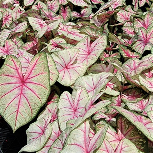 Pink and White Caladium Summer Breeze (3 Large Caladium Bulbs) Colorful Foliage All Season | Ships from Easy to Grow TM ()