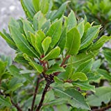 "Bay Laurel 'Culinary' - Sweet Bay - Well Rooted Plant in 4"" Pot 