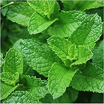 Package of 1,000 Seeds, Spearmint Herb (Mentha spicata) Non-GMO Seeds By Seed Needs
