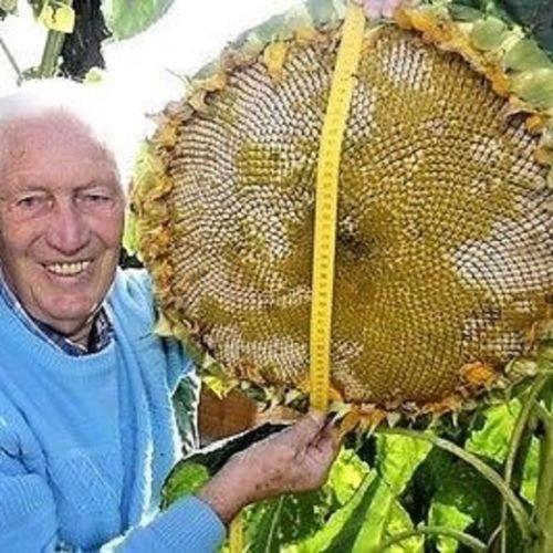 15/18 feet - 5/6 mt.Mammoth Grey Stripe - Gigantic Size Sunflower - 25 seeds -