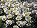 Ox-eye Daisy Seeds Serebryanaya Pryntsessa (Chrysanthemum leucanthemum) Flowers