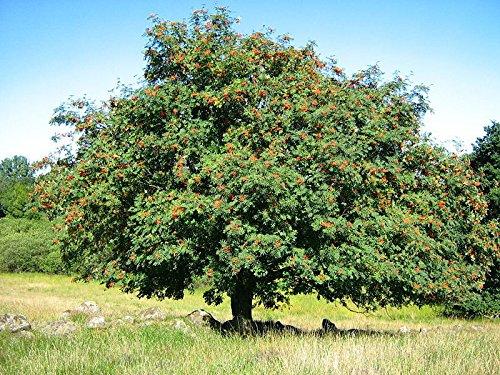 Tree 50 Seeds Rowan, Sorbus Aucuparia European Mountain Ash