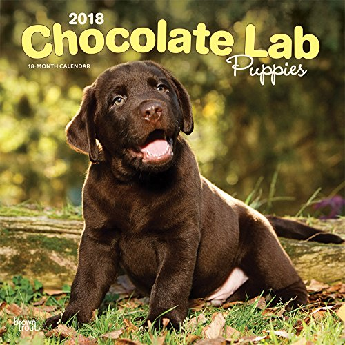 Chocolate Labrador Retriever Puppies 2018 12 x 12 Inch Monthly Square Wall Calendar, Animals Dog Breeds Retriever Puppies (Multilingual ()