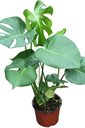 Indoor Plant -House or Office Plant -Monstera deliciosa - Swiss Cheese on rhapis house plant, anubias house plant, colocasia house plant, iris house plant, dracaena house plant, avocado house plant, carnation house plant, fig house plant, lantana house plant, split leaf philodendron house plant, coleus house plant, scindapsus house plant, filarum house plant, gypsophila house plant, hoya house plant, camellia house plant, crassula house plant, bromeliads house plant, acacia house plant, papaya house plant,