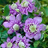 Clematis Blue Light (Bare Root) (1 Bare Root/rhizome) Early, Large-flowered Vine