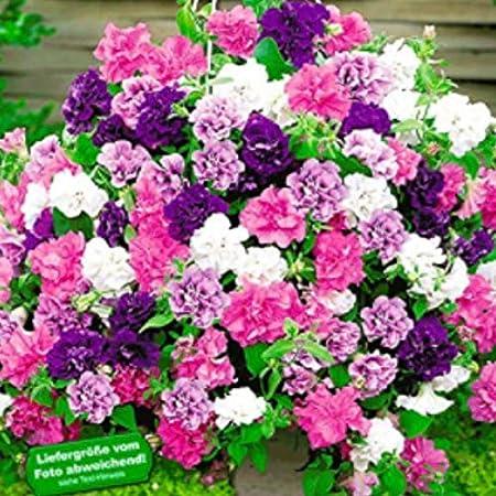 TOMASASeedhouse- 50 piezas Jardín mágico Campanas Petunia flores