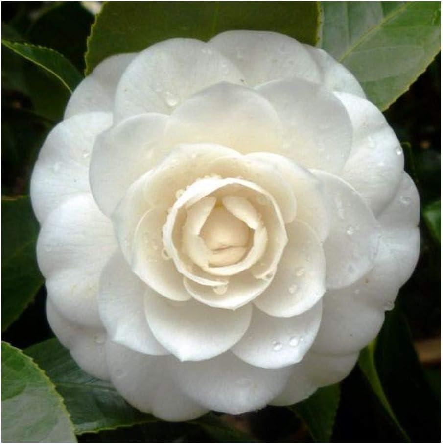 Amazon Com Camellia Japonica White Japanese Camellia 10