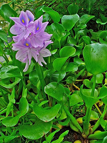 Chalily Water Hyacinths - 3 Live Floating Pond Plants by Chalily