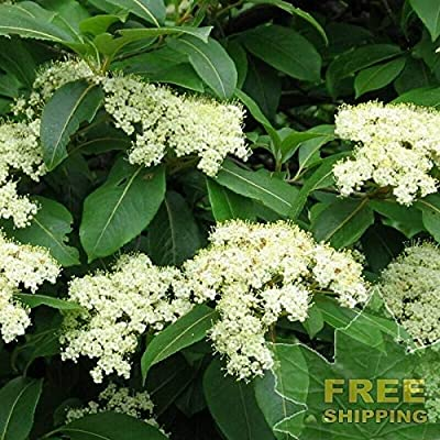 Tea Berry/Withe Rod Viburnum Cassinoides - 10 Seeds. : Garden & Outdoor